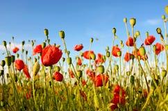 Fantastische Landschaft mit Mohnblumen auf dem Gebiet gegen den Himmel herein Stockfotos