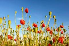 Fantastische Landschaft mit Mohnblumen auf dem Gebiet gegen den Himmel herein Stockbilder