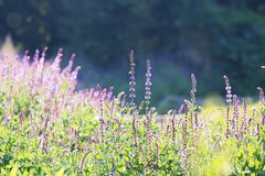 Fantastische lavendel Stock Foto