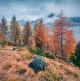 Fantastische nebelige Ansicht von Dolomiten mit gelben Kiefern stockfotografie
