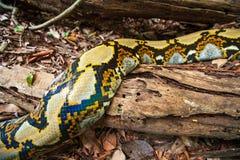 Fantastische patroon en huid van Boa Boa op de openings van een sessiegrond van tropische bosgrens Kambodja-Thailand stock afbeeldingen