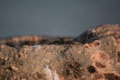Fantastische Seekrabbe lebendig und gut auf Felsen lizenzfreie stockfotos