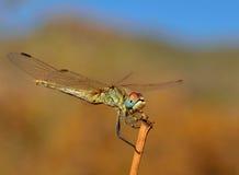 Fantastische sympetrum Libelle im vollen Gleichgewicht lizenzfreies stockfoto