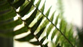 Fantastischer Farn Houseplant mit den stacheligen und dünnen Blättern, die Innen wachsen stock footage