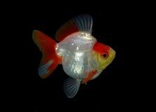 Fantastischer Goldfisch lokalisiert auf schwarzem Hintergrund Stockbild