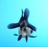 Fantastischer Goldfish auf blauem Hintergrund Stockfotografie