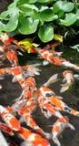 Fantastischer Karpfen im Teich. Stockbild