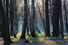 Fantastischer Wald des Morgens im Frühjahr Lizenzfreies Stockbild