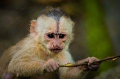 Fantastisches Nahaufnahmefoto des spielerischen netten kleinen Affen von Amazonas-Dschungel Ecuador Stockbild