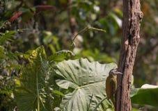 Fantastisches Tier und wo man sie - Picus canus findet Lizenzfreies Stockbild