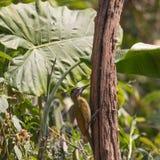 Fantastisches Tier und wo man sie - Picus canus findet Stockbild