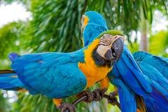 Fantastisk blått- och gulingara (Arara papegojor) Arkivfoton