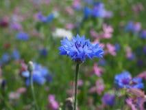 Fantastisk blåttblomma på en ängbakgrund royaltyfri fotografi
