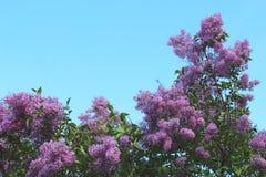 Fantastisk blomning av lilan på bakgrunden för blå himmel Arkivbilder