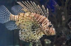 Fantastisk brunt och vit undervattens- randiga Firefish Arkivbilder