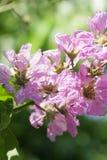 Fantastisk dag med att lukta purpurfärgade blommor av de lukta kronorna av trädet Arkivfoto