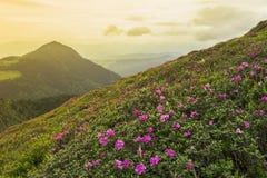 Fantastisk färgrik solnedgång- och blomrhododendron Royaltyfri Foto