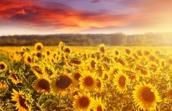 Fantastisk felik solnedgång på solrosfält med solrosor på förgrund Scenisk sikt på solrosor med guld- solljus i solnedgång Royaltyfria Foton