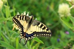 fantastisk fjärilsmachaon Tropiskt landskap med stranden arkivfoton