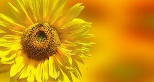 Fantastisk gul solros Fotografering för Bildbyråer