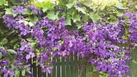 Fantastisk hängande växt med purpurfärgade blommor på ett grönt staket Royaltyfri Foto