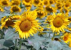 fantastisk härlig bakgrund av gula solrosor i sommar Royaltyfri Fotografi