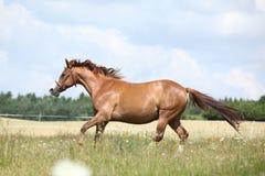 Fantastisk kastanjebrun hästspring på äng Royaltyfria Foton