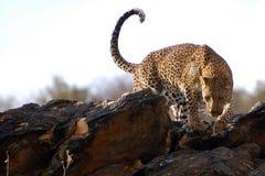 Fantastisk leopard i Namibia royaltyfri fotografi