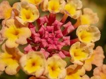 Fantastisk närbild av en mångfärgad blomma royaltyfria bilder