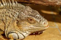 Fantastisk närbildstående av den tropiska leguanen selektivt fokusera, Royaltyfri Bild