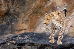 Fantastisk och stolt leopard i Namibia Arkivfoton