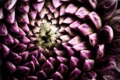Fantastisk purpurfärgad dahliablommamodell arkivbild