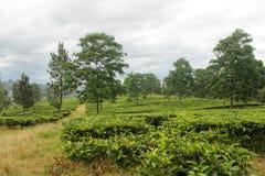 Fantastisk sikt i koloni för grönt te Arkivbild