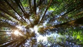 Fantastisk solig morgon på den djupa höglands- vintergröna skogen av Carpathian berg stock video