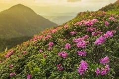 Fantastisk solnedgång- och blomrhododendron Royaltyfri Bild