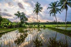 Fantastisk soluppgång på den bali risfältet, indonesia Royaltyfri Bild