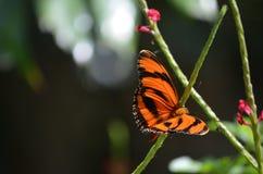 Fantastisk textur på vingarna av en ek Tiger Butterfly Arkivbilder