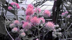 Fantastisk tistel, rosa färger och grå färger Arkivbild