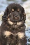 Fantastisk valp av den tibetana mastiffen som ser dig Arkivfoton