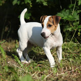 Fantastisk valp för stålarrussell terrier i trädgården Arkivfoto
