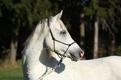 Fantastisk vit hingst av den arabiska hästen Arkivfoton