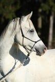 Fantastisk vit hingst av den arabiska hästen Royaltyfri Foto