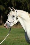Fantastisk vit hingst av den arabiska hästen Arkivbilder