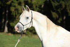 Fantastisk vit hingst av den arabiska hästen Fotografering för Bildbyråer