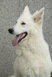 Fantastisk vit schweizareherde Dog Royaltyfria Foton
