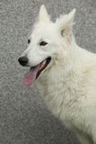 Fantastisk vit schweizareherde Dog Royaltyfri Bild