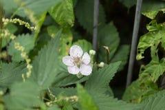 Fantastiska blomma vita blommor under aftonsolljuset, blomma för fem kronblad Arkivfoto