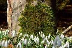 Fantastiska blommande snödroppar i trädstam snowdrops Royaltyfri Bild