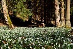 Fantastiska blommande snödroppar på ett stort område i en skog nära en trädstam snowdrops Royaltyfria Bilder
