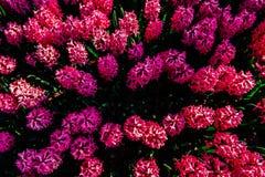 Fantastiska blommor i vårblomsterrabatt Rosa hyacint Royaltyfri Fotografi